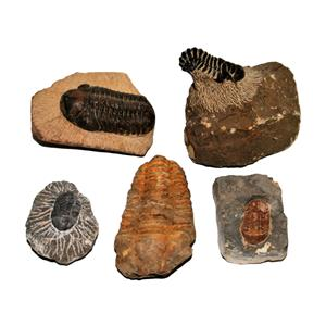 TRILOBITES (Real Fossils) Collector Lot of 5 Different Species #14931  33o