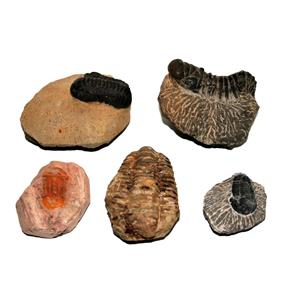 TRILOBITES (Real Fossils) Collector Lot of 5 Different Species #14935 34o
