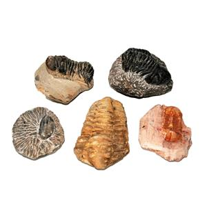 TRILOBITES (Real Fossils) Collector Lot of 5 Different Species #14938 31o