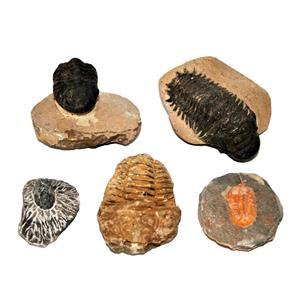 TRILOBITES (Real Fossils) Collector Lot of 5 Different Species #14939 30o