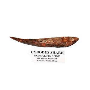 HYBODUS Shark Dorsal Fin Spine Real Fossil 5 1/2 inch #14951 5o