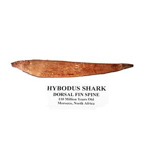 HYBODUS Shark Dorsal Fin Spine Real Fossil 5 1/2 inch #14953 4o