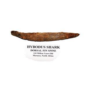 HYBODUS Shark Dorsal Fin Spine Real Fossil 5 1/4 inch #14959 4o