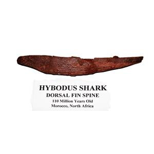 HYBODUS Shark Dorsal Fin Spine Real Fossil 4 3/4 inch #14962 4o