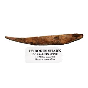 HYBODUS Shark Dorsal Fin Spine Real Fossil 6 1/2 inch #14964 5o