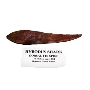 HYBODUS Shark Dorsal Fin Spine Real Fossil 5 1/2  inch #14966 4o