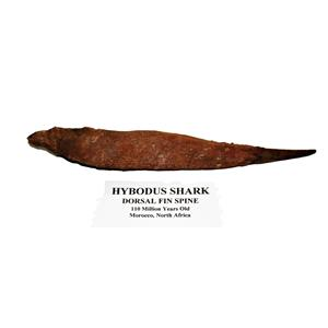 HYBODUS Shark Dorsal Fin Spine Real Fossil 8  inch #14967 6o