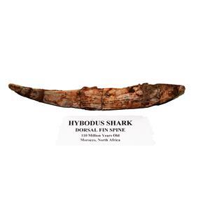 HYBODUS Shark Dorsal Fin Spine Real Fossil 7 1/4  inch #14968 5o