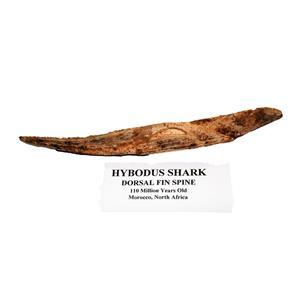 HYBODUS Shark Dorsal Fin Spine Real Fossil 7 1/4  inch #14970 5o