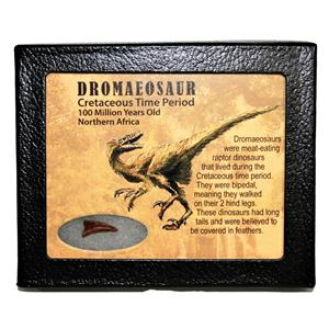 Dromeosaur Raptor Dinosaur Toe Claw .700 inch w/ Display Box SDB #14977 11o