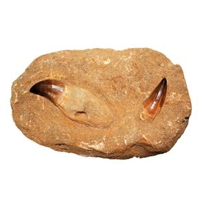 MOSASAUR Dinosaur Extra Large Tooth Fossil in Matrix  #14990 34o