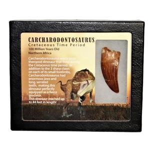 "CARCHARODONTOSAURUS Dinosaur Tooth 2.229"" Fossil African T-Rex MDB #15005 13o"