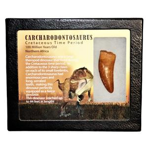 "CARCHARODONTOSAURUS Dinosaur Tooth 2.013"" Fossil African T-Rex MDB #15007 13o"
