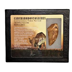 "CARCHARODONTOSAURUS Dinosaur Tooth 2.229"" Fossil African T-Rex MDB #15010 13o"