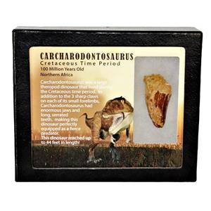 "CARCHARODONTOSAURUS Dinosaur Tooth 1.786"" Fossil African T-Rex MDB #15035 13o"