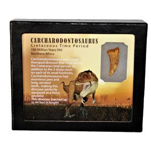"CARCHARODONTOSAURUS Dinosaur Tooth 1.259"" Fossil African T-Rex MDB #15036 13o"