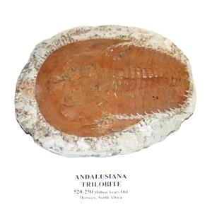 TRILOBITE ANDALUSIANA Large Moroccan Fossil 520 Million Yrs Old  #15050 53o