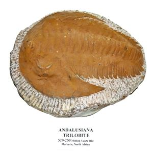TRILOBITE ANDALUSIANA Large Moroccan Fossil 520 Million Yrs Old  #15051 91o