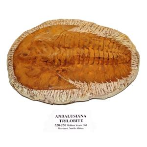 TRILOBITE ANDALUSIANA Large Moroccan Fossil 520 Million Yrs Old #15042 72o
