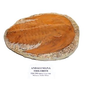 TRILOBITE ANDALUSIANA Large Moroccan Fossil 520 Million Yrs Old 15041 61o