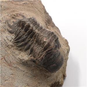 Crotalocephalus TRILOBITE Fossil Morocco 400 Million Years old #2468 11o