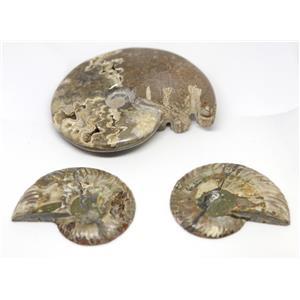 AMMONITE Fossils Lot of 3 (100-120 Mil Yrs old) Morocco & Madagascar #12388