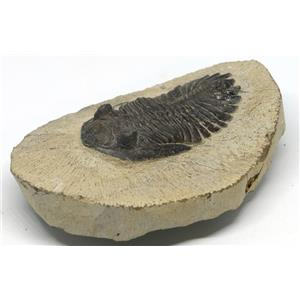 TRILOBITE Hollardops Fossil Morocco 390 Million Years old #15146 12o