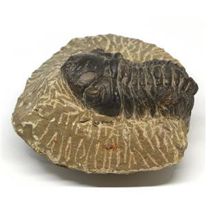 Reedops TRILOBITE Fossil Morocco 390 Million Years old #15165 16o