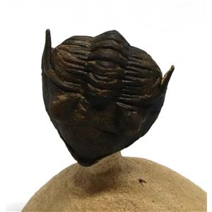 TRILOBITE Metacanthina Fossil Morocco 390 Million Years old #15186 12o
