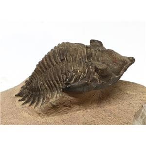 TRILOBITE Metacanthina Fossil Morocco 390 Million Years old #15187 16o