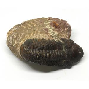 Reedops TRILOBITE Fossil Morocco 390 Million Years old #15211 9o