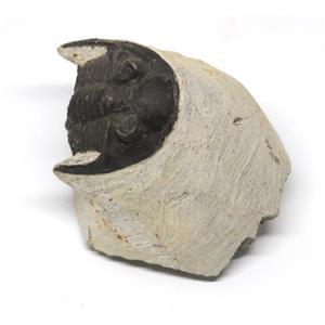 TRILOBITE Hollardops Fossil Morocco 390 Million Years old #15219 10o