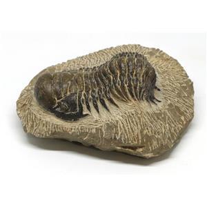 Crotalocephalus TRILOBITE Fossil Morocco 400 Million Years old #15236 17o