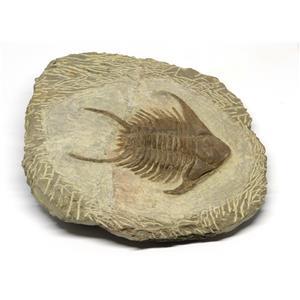 Foulsnia TRILOBITE Fossil Morocco 480 Million Years old #15243 23o