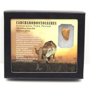 "CARCHARODONTOSAURUS Dinosaur Tooth .939"" Fossil African T-Rex MDB #15267 7o"
