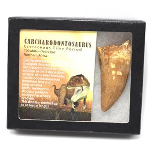 "CARCHARODONTOSAURUS Dinosaur Tooth 3.462"" Fossil African T-Rex MDB #15321 14o"