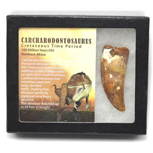 "CARCHARODONTOSAURUS Dinosaur Tooth 2.900"" Fossil African T-Rex MDB #15322 14o"