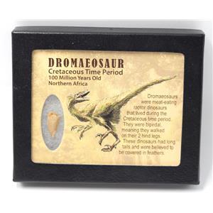 Dromeosaur Raptor Dinosaur Tooth Fossil .765 inch w/ Display Box SDB #15329 11o
