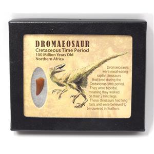 Dromeosaur Raptor Dinosaur Tooth Fossil .720 inch w/ Display Box SDB #15330 11o