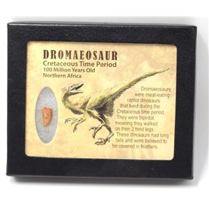 Dromeosaur Raptor Dinosaur Tooth Fossil .641 inch w/ Display Box SDB #15335 11o