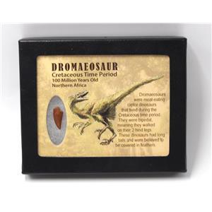 Dromeosaur Raptor Dinosaur Tooth Fossil .732 inch w/ Display Box SDB #15339 11o