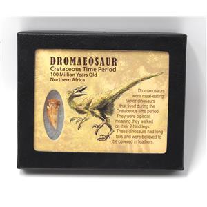 Dromeosaur Raptor Dinosaur Tooth Fossil 1.009 inch w/ Display Box SDB #15340 11o