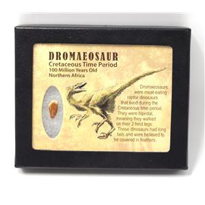 Dromeosaur Raptor Dinosaur Tooth Fossil .617 inch w/ Display Box SDB #15342 11o