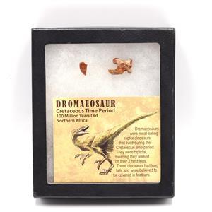 Dromeosaur Raptor Dinosaur Vertabra & Tooth Fossil w/ Display Box SDB #15346 11o