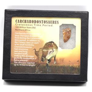 "CARCHARODONTOSAURUS Dinosaur Tooth 1.072"" Fossil African T-Rex MDB #15360 14o"