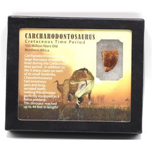 CARCHARODONTOSAURUS Dinosaur Tooth .980 Fossil African T-Rex MDB #15362 14o