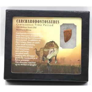 "CARCHARODONTOSAURUS Dinosaur Tooth .986"" Fossil African T-Rex MDB #15374 14o"