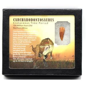 "CARCHARODONTOSAURUS Dinosaur Tooth 1.058"" Fossil African T-Rex MDB #15386 14o"