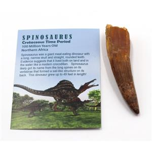SPINOSAURUS Dinosaur Tooth Fossil 3.341 inch w/ Info Card #15391 4o