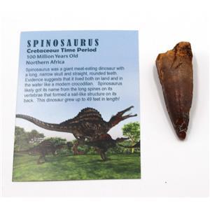 SPINOSAURUS Dinosaur Tooth Fossil 2.282 inch w/ Info Card #15396 6o